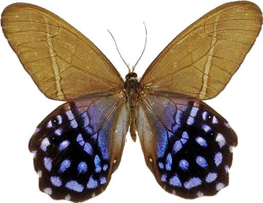 Satyridae