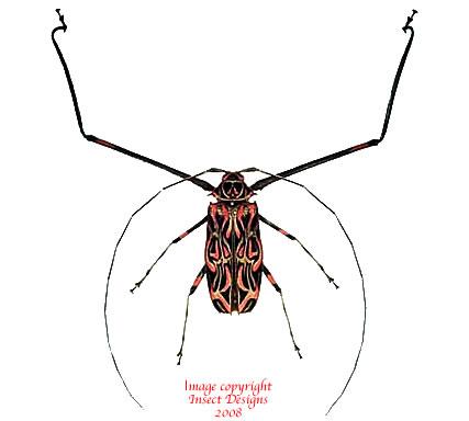 Acrocinus longimanus (Peru)