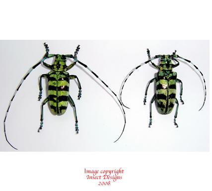 Anoplophora birmanica (Thailand)