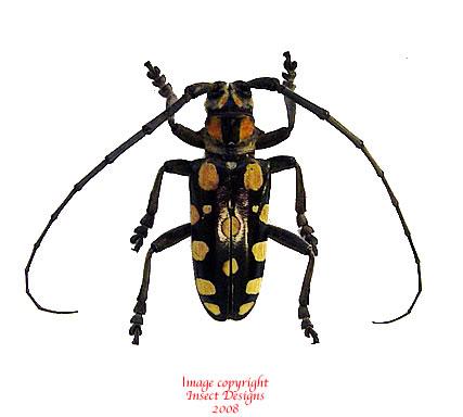 Anoplophora manauna (Philippines)