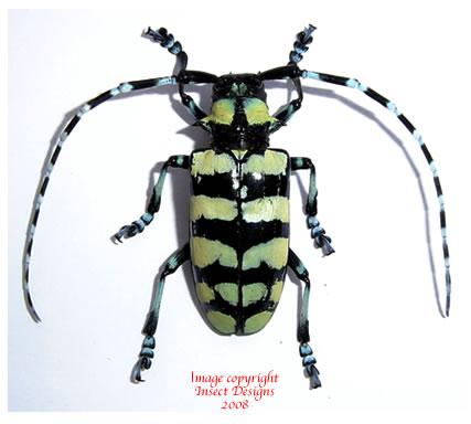 Anoplophora elegans (Thailand) - pairs