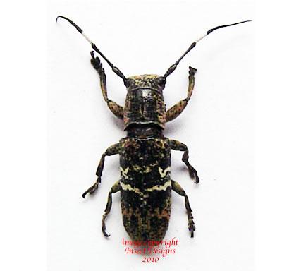 Callimetopus irroratus (Philippines)