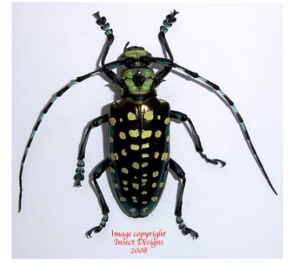 Calloplophora solli (Thailand)