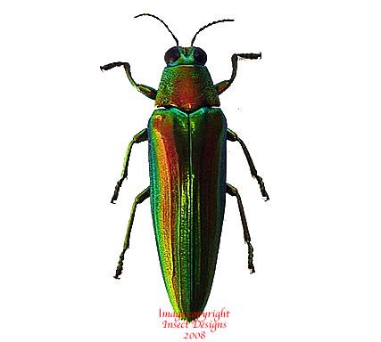 Chrysochroa baudoni (Thailand)