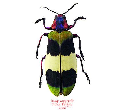 Chrysochroa corbetti (Thailand)