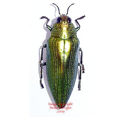 Chrysochroa purpuriventris (Malaysia)