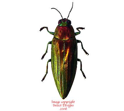 Chrysochroa purpuriventris marinae (Thailand)