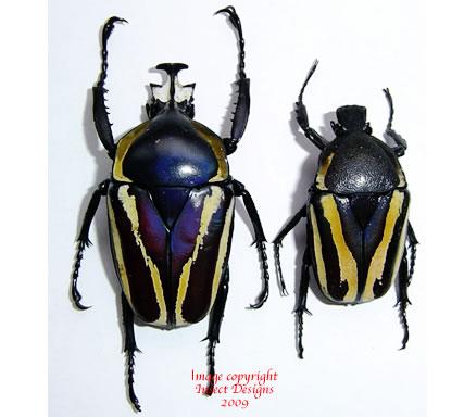 Dicronorhina derbyana (Tanzania) A2
