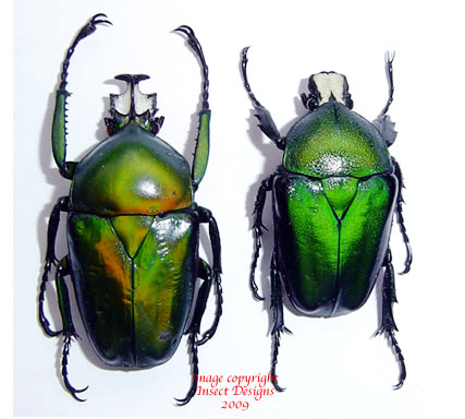 Dicronorhina oberthuri (Tanzania)