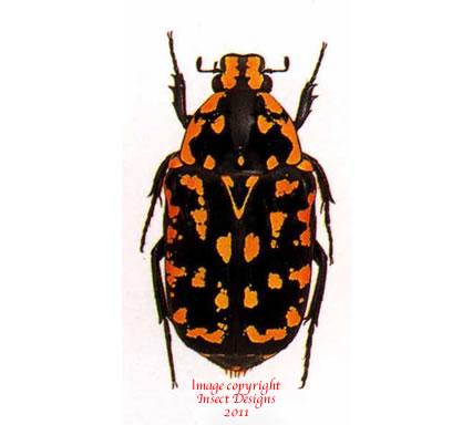 Euchroea vadoni (Madagascar)