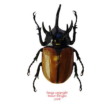 Eupatorus gracilicornis (Thailand)