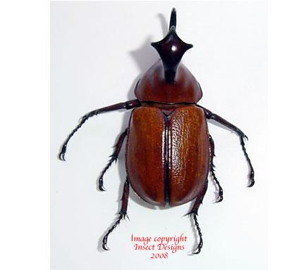 Golofa clavige (Peru)