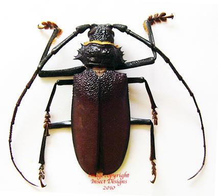 Hoplideres aquilus (Madagascar)