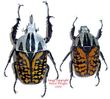 Mecynorrhina oberthuri decorata (Tanzania)