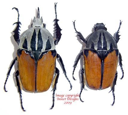 Mecynorrhina oberthuri unicolor (Tanzania)