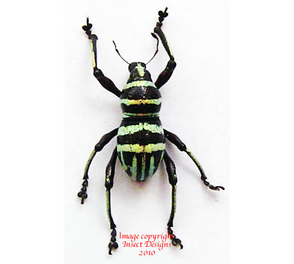 Metapocyrtus sp. - yellow/green lines (Philippines) A2