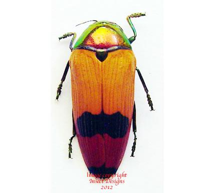 Metaxymorpha nigrofasciata (Irian)