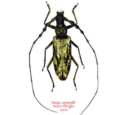 Neocerambyx gigas (Thailand)