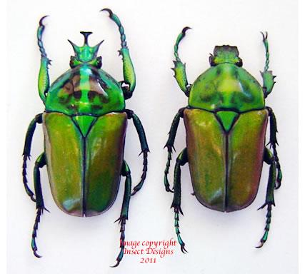 Neptunides polychrous - green (Tanzania)