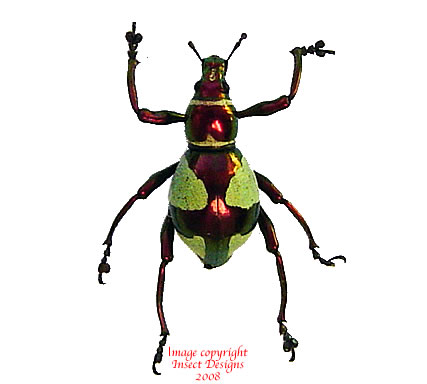 Pachyrrhynchus pseudamabilis (Philippines)