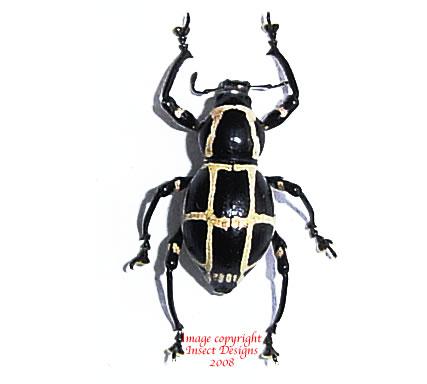 Pachyrrhynchus chevrolati (Philippines)