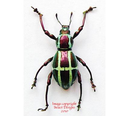 Pachyrrhynchus gloriosus (Philippines)