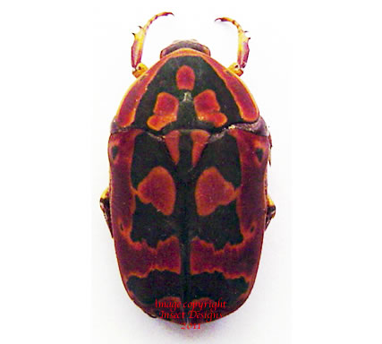 Pachnoda umhangi (Tanzania) A2