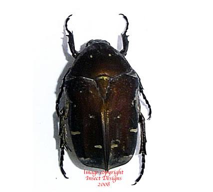 Protaetia sp. (Philippines)
