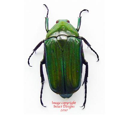 Ptychodesthes gratiosa (Tanzania)