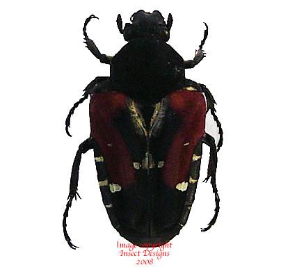 Taeniodera tricolor (Philippines)