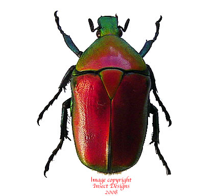 Torynorrhina flammea - red (Thailand)