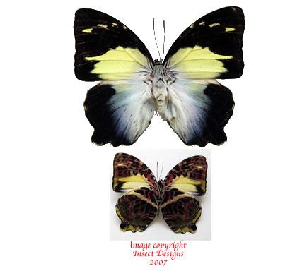 Agatasa calydonia calydonia (Malaysia)
