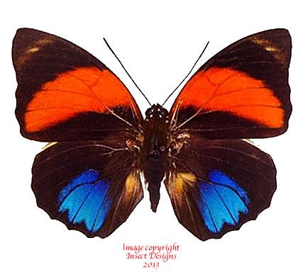 Agrias amydon zenodorus (Peru)