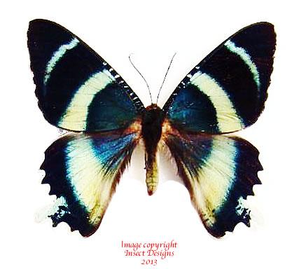 Alcides cydnus (Papua) A2