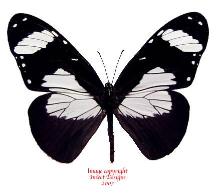 Amauris niavius (Tanzania) A2