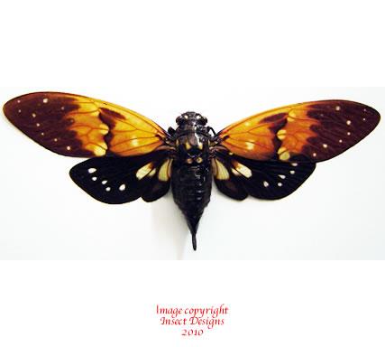 Ambragaeana ambra (Thailand)