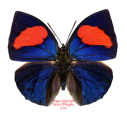 Anaea anna (Peru)