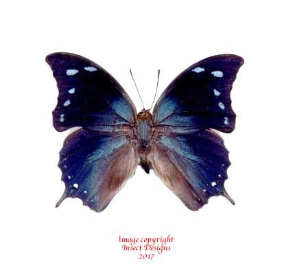 Anaea arginusa (Peru) A-