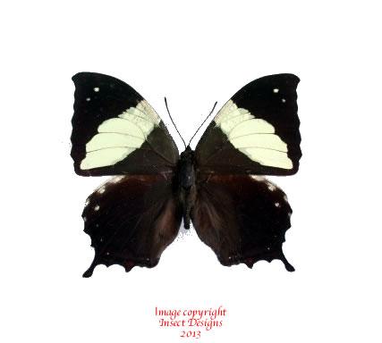 Anaea clymnestra (Peru)
