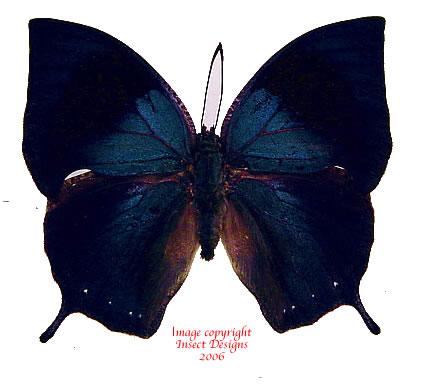 Anaea philumena (Peru)