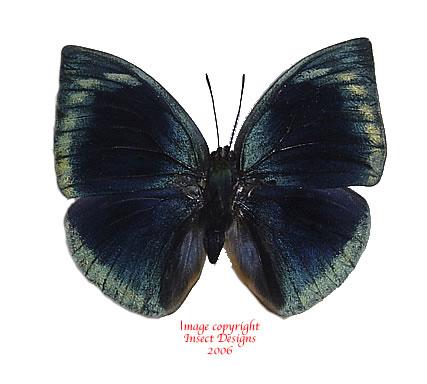 Anaea polyxo (Peru)