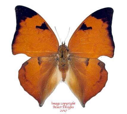 Anaea syene (Peru)