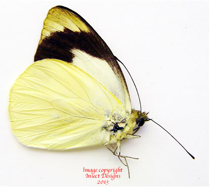 Appias indra massilia (Philippines) A-