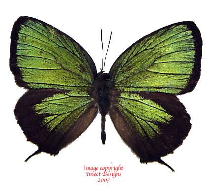 Arhopala eumolphus (Java) A2