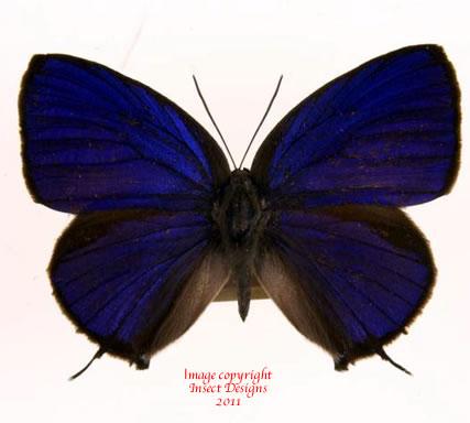 Arhopala silhetensis (Philippines)