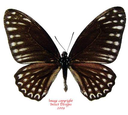 Arisbe megaera (Philippines)