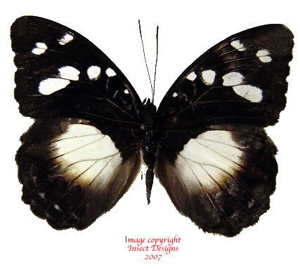 Aterica sp.? (Tanzania) A-