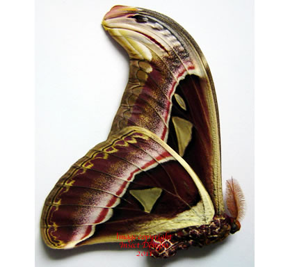 Attacus atlas (Thailand) A2
