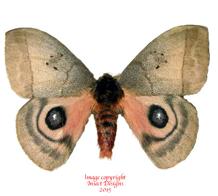 Automeris celata (Costa Rica) A2