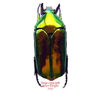 Agestrata sp. (Philippines)